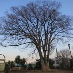 オープンリビングの目の前にある、公園のけやきの木