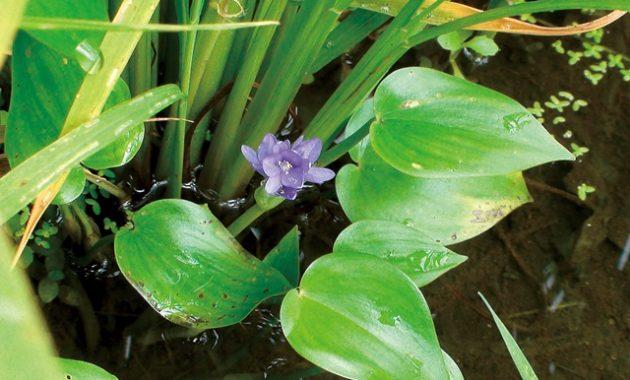 田んぼの里山ハーブ。コナギの花