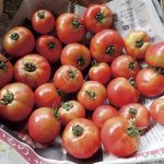 たくさんのトマト