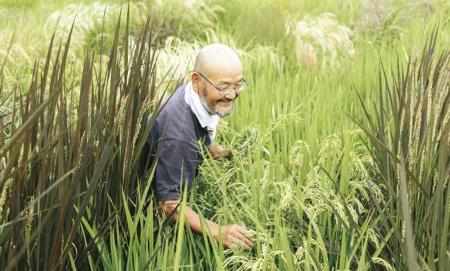 いろいろ米の種とり田んぼの中の笑顔の上野さん