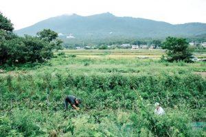 筑波山南麓の畑で朝早くから収穫中の人たち