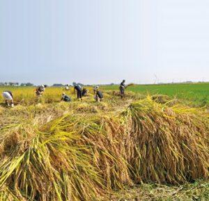 青空のもと、お米の収穫作業中