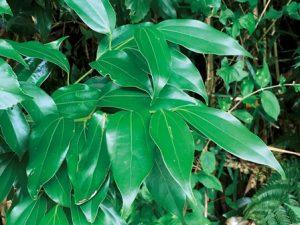 ヤブキッケイの葉。つやがあり光っている。