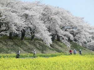満開の桜の下を走る自転車。手前にはこれも一面の菜の花