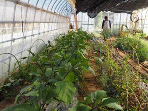お~い船形のビニールハウスの中。年間を通じて野菜や花が栽培されている。