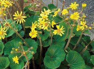 里山ハーブの1つ。ツワブキ。黄色い花が咲いているところ。