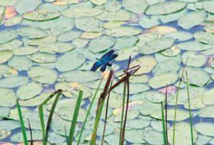 じゅんさい池に美しいチョウトンボがきたところ