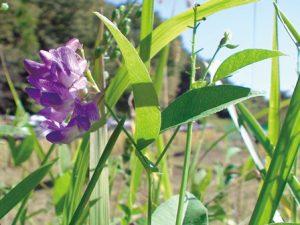 ナンテンハギの花。鮮やかな紫いろ。