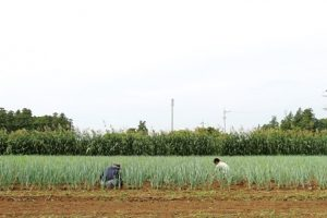 JAつくば谷田部 沼尻さんのネギ畑で作業中の2人