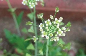 里山ハーブ。小さい花が集まっている